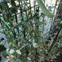 トマトは鉢を空けないと植え替えられないのでまずは鞘の収穫٩(๑❛ᴗ❛๑)۶