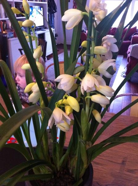 Birthday week orchids from @Dutchcowboy