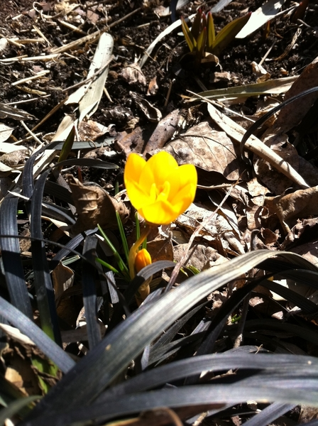 Hooray! Weather has broken here in Chicago!  First crocus bloomed in my yard today!!