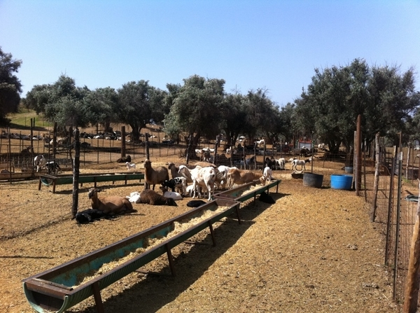 In the middle of olive groves: remarkable all-nat lamb farm in perfect harmony with environment