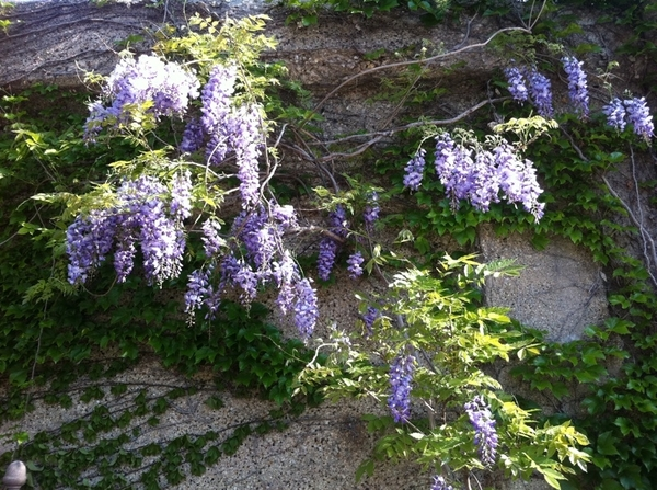Wisteria at the back of my garden is in full bloom!