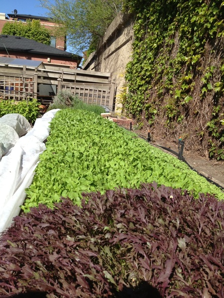 Amazingly beautiful greens ready for harvest in my garden: on the menu in Topolobampo tomorrow!