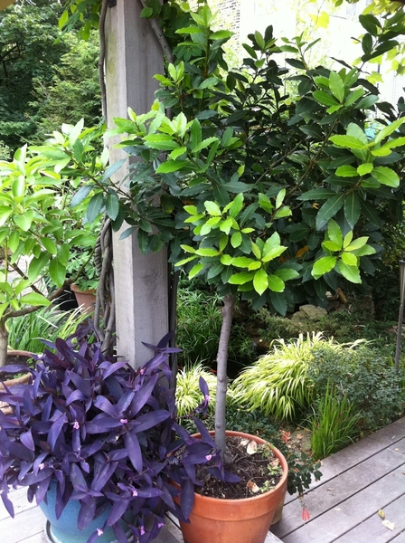 My garden: beautiful new growth on my 20 yo bay tree!