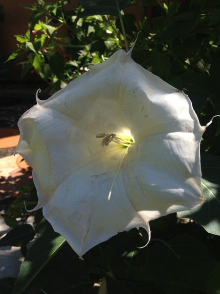 Moon flower with sun poking through..
