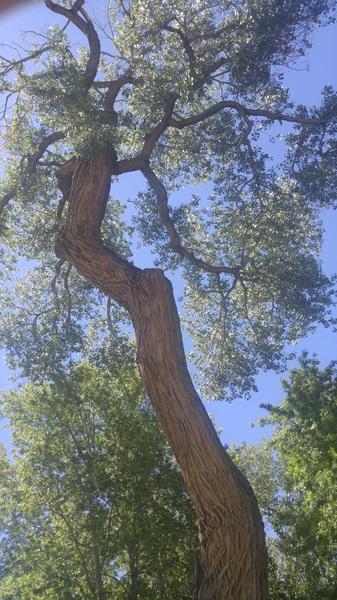 Cottonwoods! #albuquerquezoo #oldtrees #nm