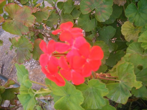 Particolare con i fiori e le foglie di geranio rosso zonale (Pelargonium zonale)