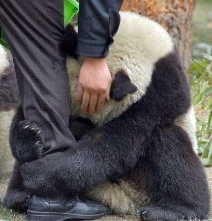 Following the March 11, 2011 earthquake in Japan, this terrified giant panda grabs the leg of a policeman.  #Japan