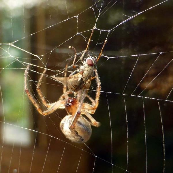 Lekker ontbijtje! #vlieg #spin #web #natuur