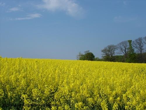 @ritzotencate Grote delen van Denemarken zien er eind april zo uit: glooiende gele heuvels, prachtige kiezelstranden