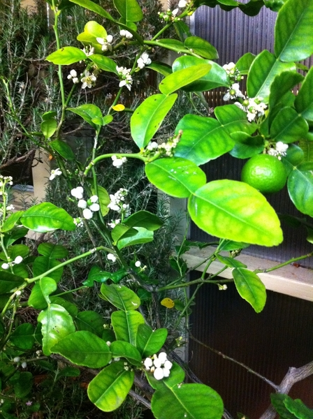 Making Thai duck red curry for dinner, inspired by my kaffir lime tree being in full bloom!