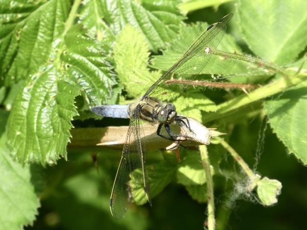 libelle in de hete middagzon #buienradar