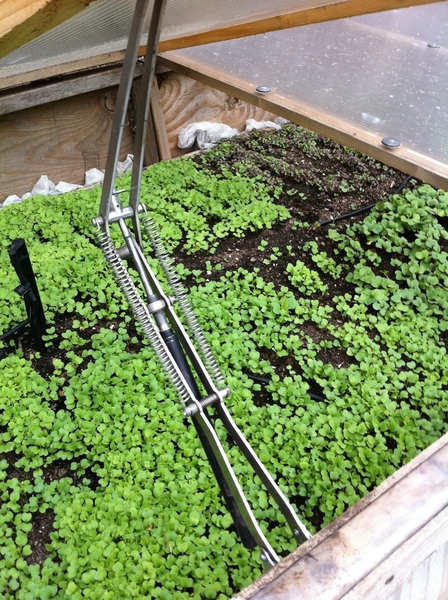 Under the cold frames the lettuces are thriving. A coupla weeks til they're ready to harvest