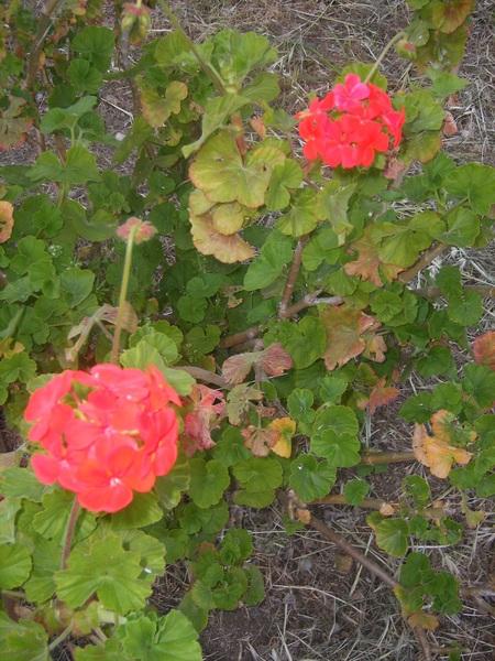 Fiori e foglie di gerani rossi zonali (Pelargonium zonale)