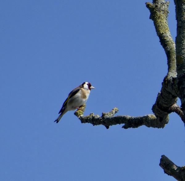 in een hele hoge boom: een zachtjes zingende distelvink #buienradar