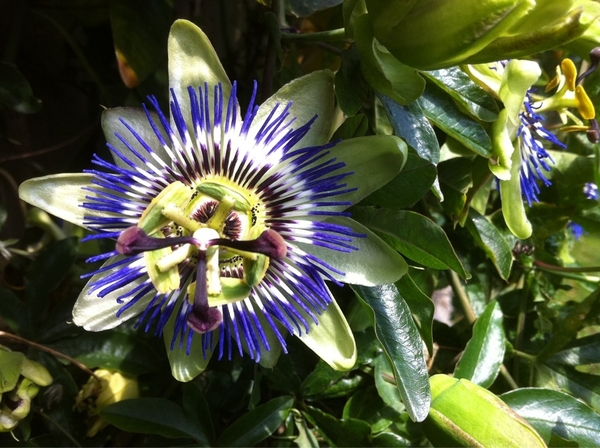 @kewgardens Would be easier if we should send you our garden pictures on Twitter. Here's my Passion Flower!