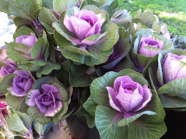 Wicker Park Farmers Mkt: our favorite local flower grower brought her spectacular cabbage roses this week