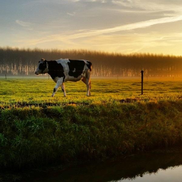 Gieten. De Warme gloed van de zon die opkomt kleurt het weiland met koeien. #buienradar