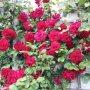 Mooie rozen op 24-05-2016  #buienradar