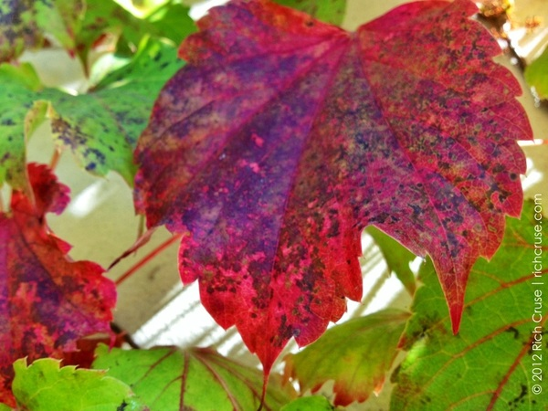 Red ivy leaf #iphone4s photo
