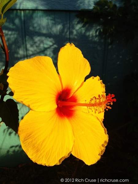 Hibiscus #iphone4s photo