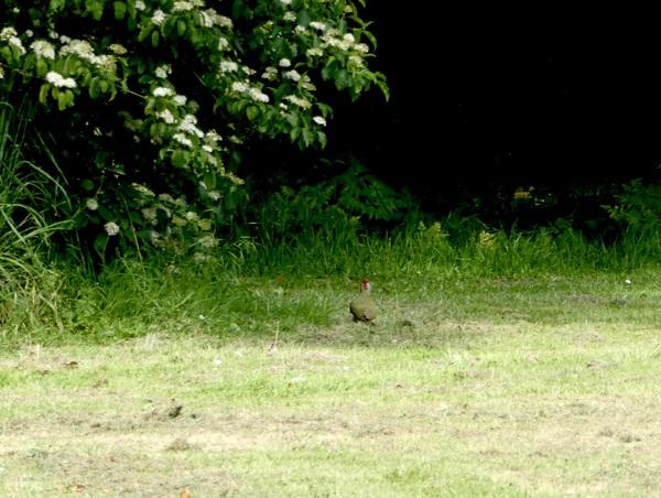 wie scharrelt daar zo stilletjes in het gras langs de bosrand? EINDELIJK gespot, hopelijk lukt het me de volgende keer om de groene specht in al zijn glorie te laten zien #buienradar