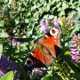 Mooie paarse bloemen in de zon en een bezig vlindertje die zijn kostje bij elkaar zoekt. #buienradar