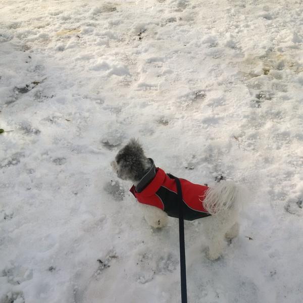 Dante's keeping an eye out for #santa! #santaslittlehelper #leashandpaws #woofwoofwednesdays #cutie #tistheseason
