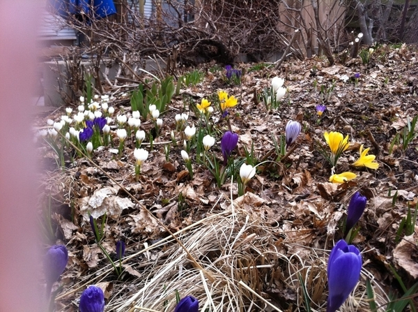 I love it when all the crocuses bloom in my garden