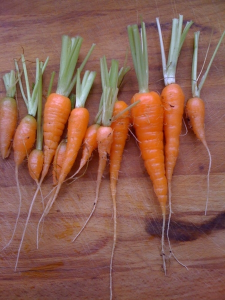 My first crop of carrots!!