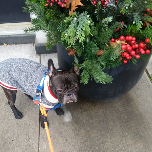 Walnut looking #festive today! #tistheseason #leashandpaws #novembrrr