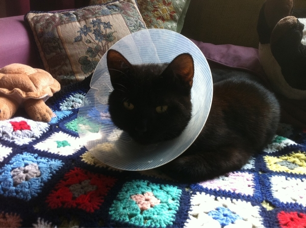 Ben the Cat wears the Collar of Shame. Lucky he's not allowed out for a week, so his mates can't see!