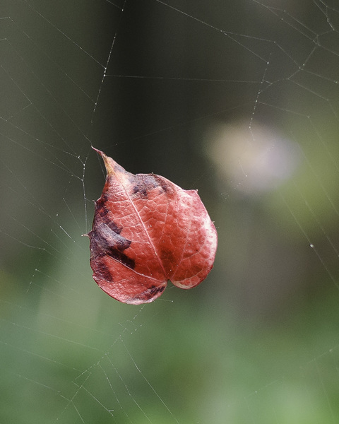 Tiny red leaf, suspended on a spider's web.