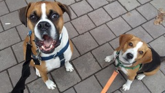 We're ready for our treats! - Rocco & Aldo #bestfriends #treattime #tongeouttuesday