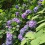 鎌倉にて紫陽花見物など