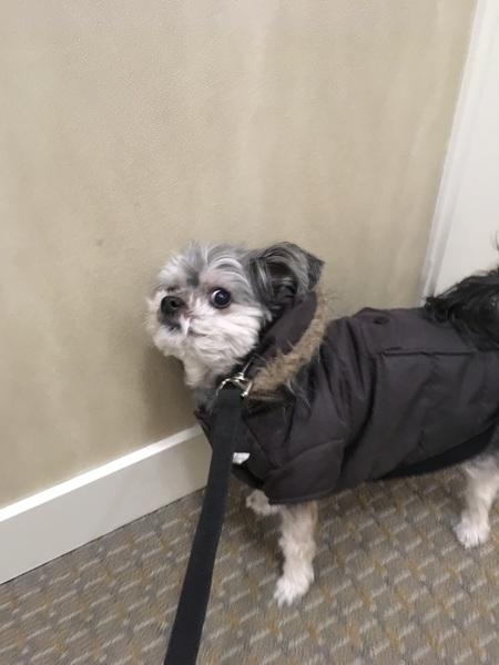 Gidget all ready for her walk #cutie