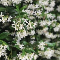 Beautiful Jasmine flowers 💐