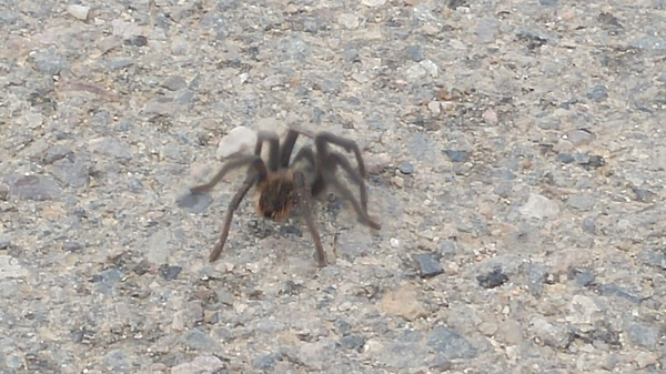 Never seen one of these fellas out in November! #tarantula #taos #nm