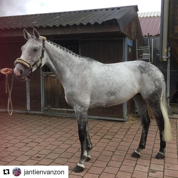 😍⭐️#Repost @jantienvanzon ・・・ Prinses Enjoy vandaag met glans ster verklaard op de thuiskeuring. #ooiteenprinsesje #kwpn #greypride #eventersofinstagram #breeding
