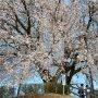 【つがの里の桜】花彩祭2018が開催中のつがの里 シンボルのつがの里桜
