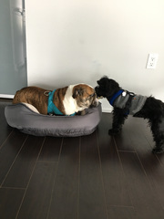 Bentley doesn't mind sharing his bed with Zoey!