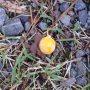 浄仙寺 ここはまだそれほど紅葉していなくて、とんぼがまだ結構いた 池に蛙もいた 小遊三師匠の好物も落ちてた