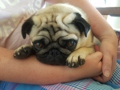 @SoapCo_Keswick If you'd like a dog model for the shampoo little pug would love to try it out and to give feedback..