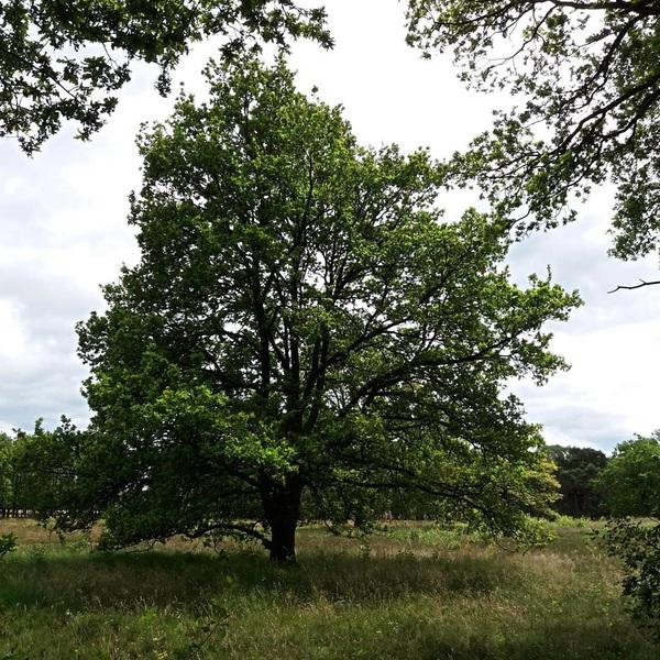 #Eik in het beekdal  #oak