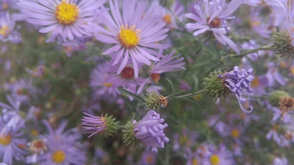 Purple asters holding on in cold temps; petals form curlicues as they die. #taos #nm #wildflowers